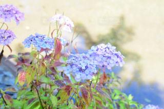 紫陽花の写真・画像素材[2220628]