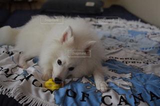 ベッドに横たわる犬の写真・画像素材[2303768]