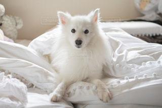 ベッドに座っている白い犬の写真・画像素材[3150419]