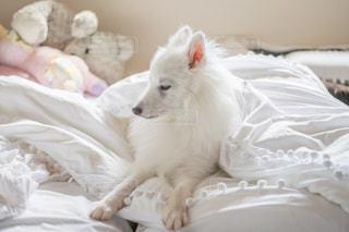 ベッドに横たわる白い犬の写真・画像素材[3150423]