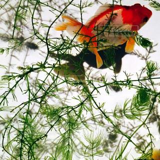 魚の写真・画像素材[269495]