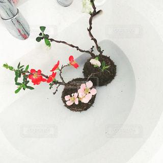 我が家の苔玉の写真・画像素材[1228935]