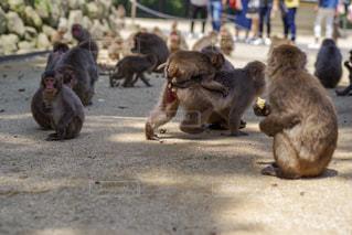 大分市 高崎山の猿 おんぶの写真・画像素材[2145752]