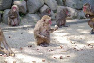 大分市 高崎山の猿の写真・画像素材[2145767]