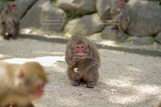 大分市 高崎山の子猿の写真・画像素材[2145769]