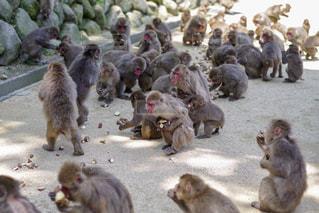 大分市 高崎山の猿の写真・画像素材[2145778]