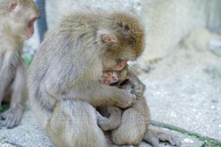 大分市 高崎山の親子猿の写真・画像素材[2145831]