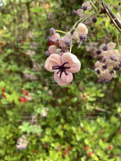 散歩で見つけたアケビの花の写真・画像素材[2118508]