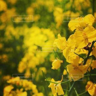 菜の花畑の写真・画像素材[2119754]