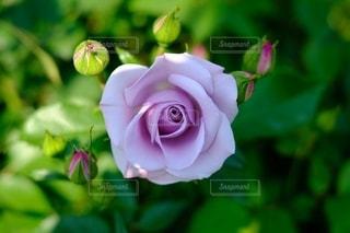 紫色のバラの写真・画像素材[2130434]