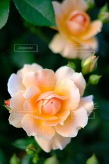 オレンジ色のバラの写真・画像素材[2130642]
