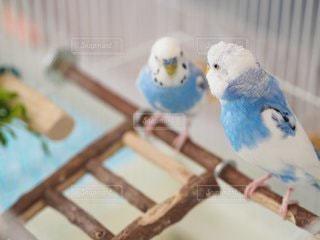 2羽のセキセイインコの写真・画像素材[2172206]