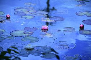モネの池の写真・画像素材[2123521]