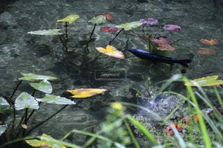 モネの池の写真・画像素材[2123526]