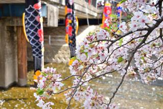 鯉のぼりと葉桜の写真・画像素材[2131545]