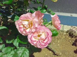 植物の上のピンクの花の写真・画像素材[2139897]