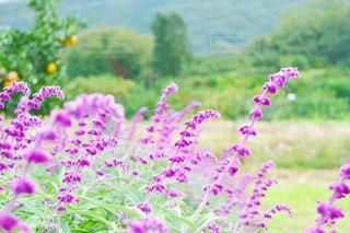 アメジストセージの花の写真・画像素材[1630983]