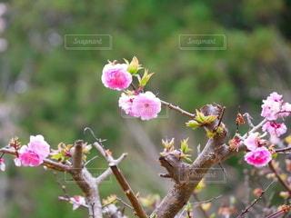 梅の花の写真・画像素材[2166780]