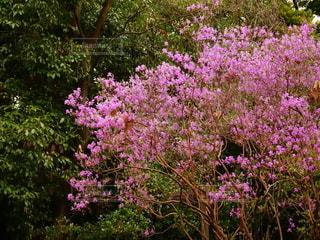 つつじの花と風景の写真・画像素材[2166785]