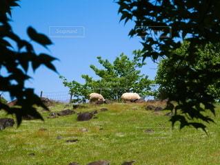 緑豊かな野原に放牧する羊の写真・画像素材[2169475]