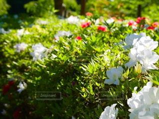 晴天のつつじの花の写真・画像素材[2169505]