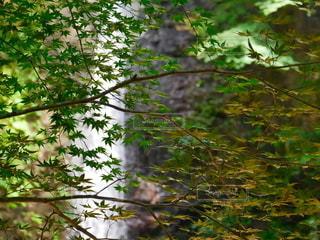 モミジと滝の写真・画像素材[2177887]