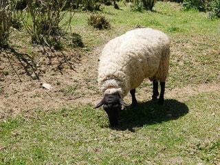 野原の上でお食事中の羊の写真・画像素材[2181885]