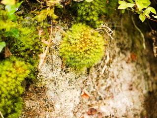 丸い天然のコケの写真・画像素材[2187224]