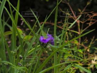 紫色の花の写真・画像素材[2204216]