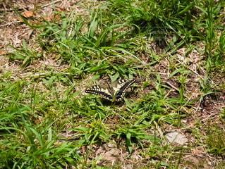 草の上のアゲハ蝶の写真・画像素材[2211269]