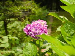 森の中のピンクのあじさいの写真・画像素材[2291486]