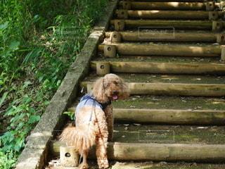 階段を登るトイプードルの写真・画像素材[2926514]