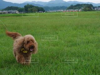 緑色の畑にトイプードルの写真・画像素材[2931116]