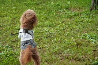 草原の上に立っている犬の写真・画像素材[2937092]