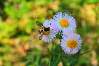 白い花とミツバチの写真・画像素材[2120428]