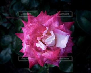 バラの花。の写真・画像素材[2142150]