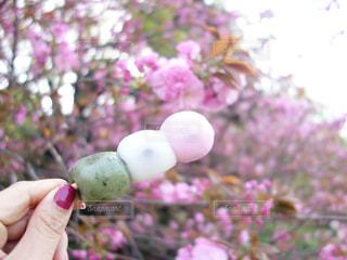 新宿御苑の牡丹桜の前で大きな三色団子を持っている手の写真・画像素材[1109024]