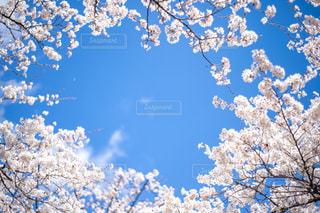 桜フレームに澄んだ青空の写真・画像素材[2303972]