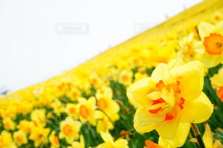 水仙の花畑の写真・画像素材[2123646]