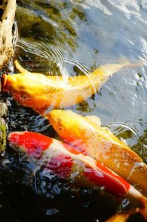 3匹の鯉の写真・画像素材[2127231]