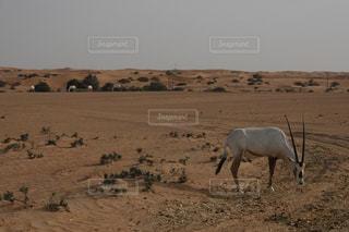 砂漠の中のオリックスの写真・画像素材[2123299]