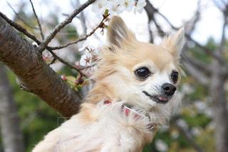 桜の樹の下で②の写真・画像素材[2133151]
