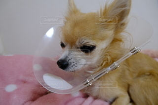 目の怪我をしたチワワの写真・画像素材[2764001]