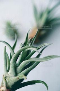 エアプランツ チランジアの写真・画像素材[2149374]