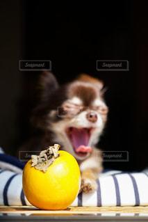 柿とチワワの写真・画像素材[2150679]