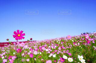 青空とピンクコスモスの写真・画像素材[2156459]