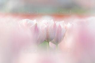 ピンクチューリップの写真・画像素材[2176669]