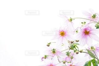 皇帝ダリアピンクの写真・画像素材[2177003]