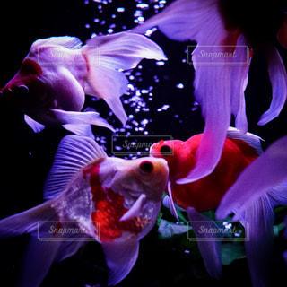 金魚4匹の写真・画像素材[2177353]