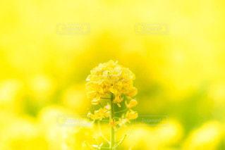 菜の花の写真・画像素材[2178918]